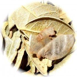 Boldo hojas